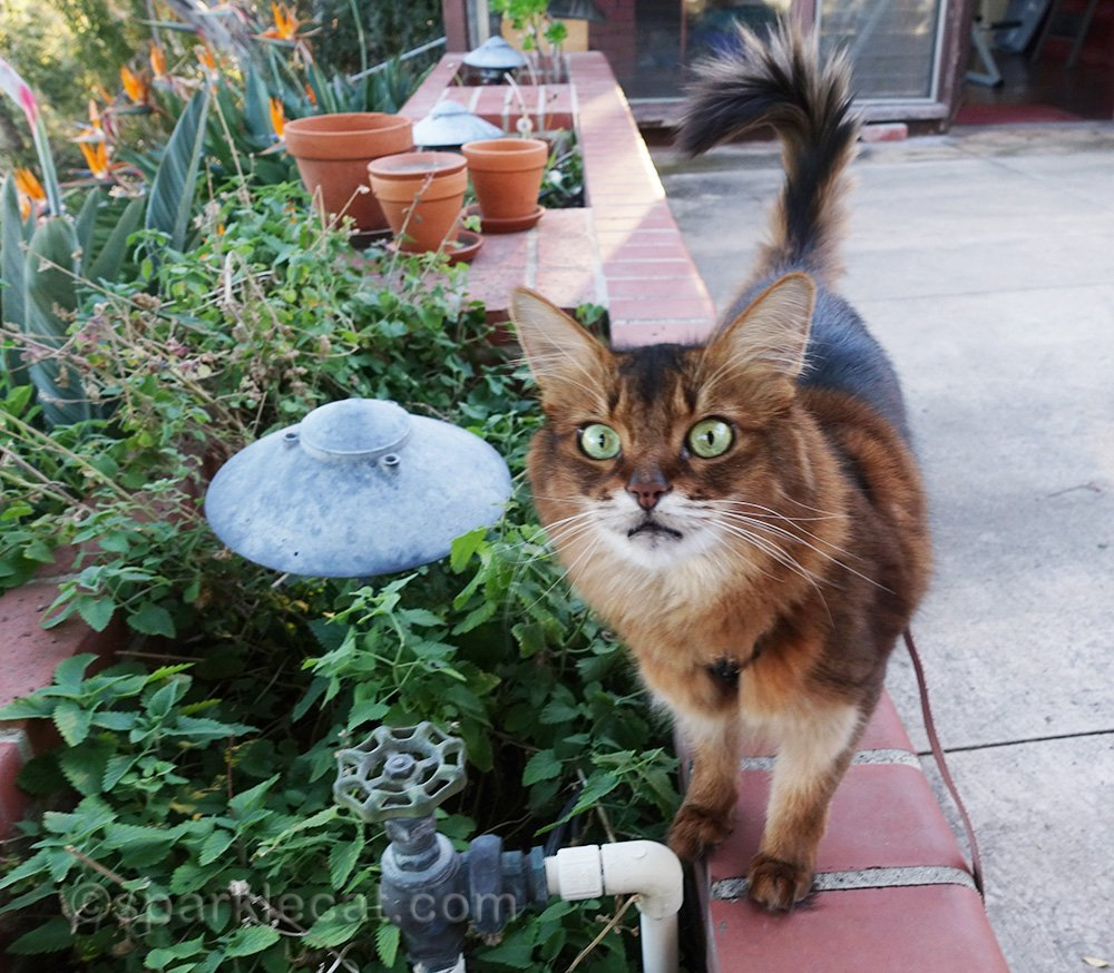 somali cat high from fresh catnip