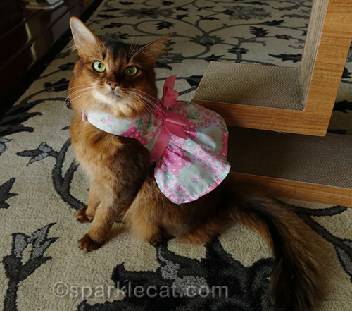 somali cat wearing pretty spring dress