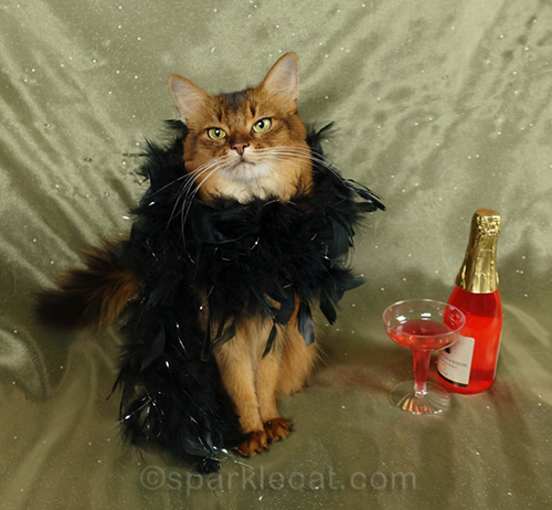 somali cat posing for New Year photograph