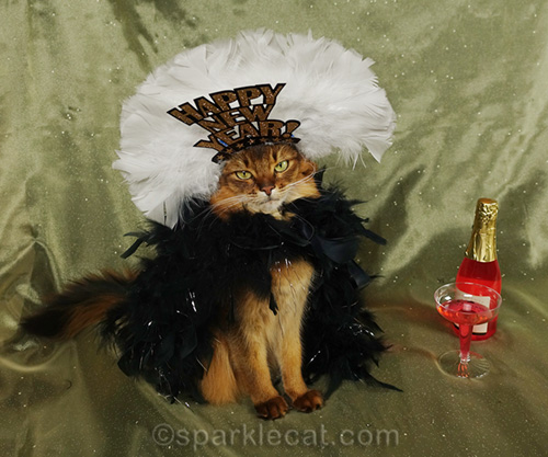 somali cat ringing in the new year for a photograph
