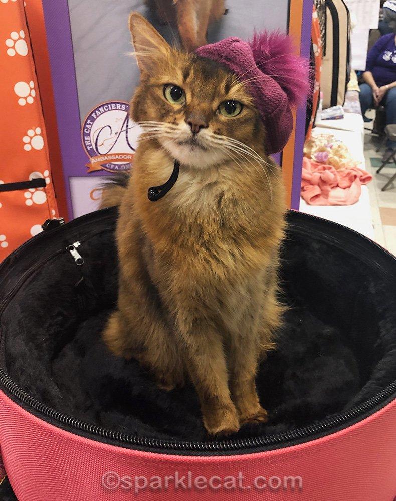 somali cat wearing raspberry beret at cat show