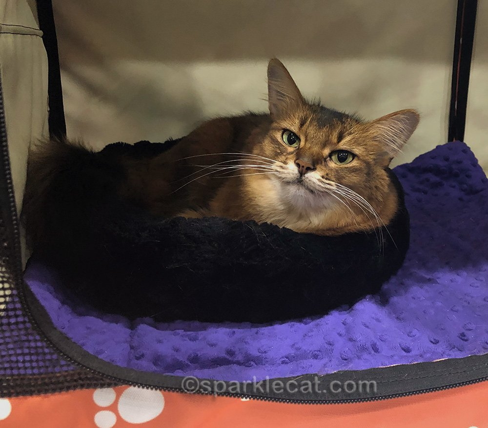 somali cat relaxing in her enclosure
