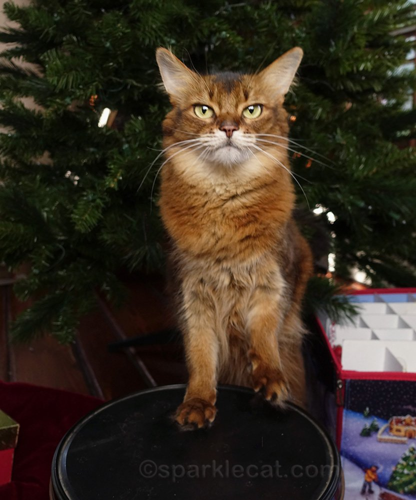 somali cat helping to put away the Christmas tree