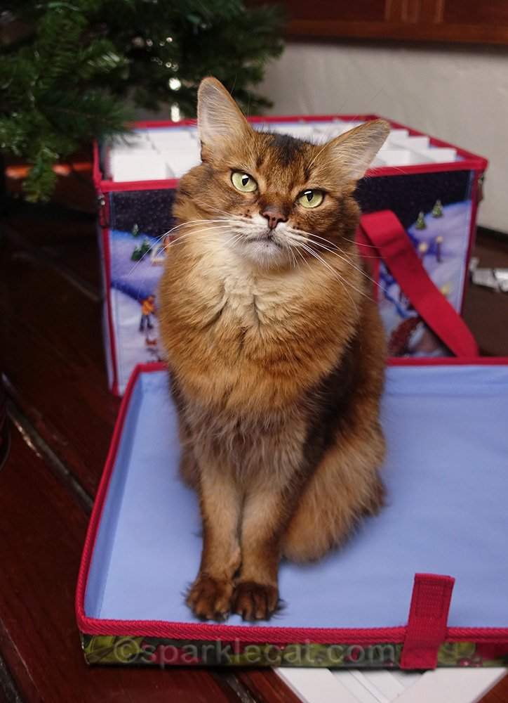 somali cat sitting in front of the ornament box