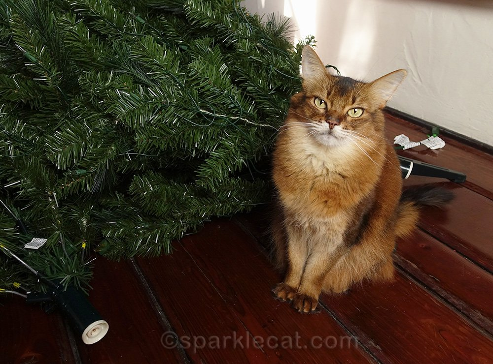 somali cat with pieces of Christmas tree