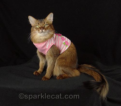 Somali cat in pink cat shirt