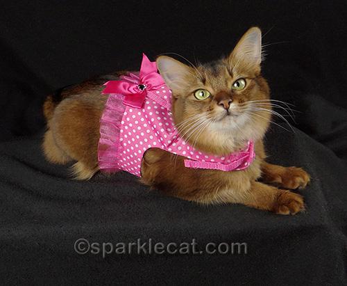 Somali cat in a pink polkadot harness