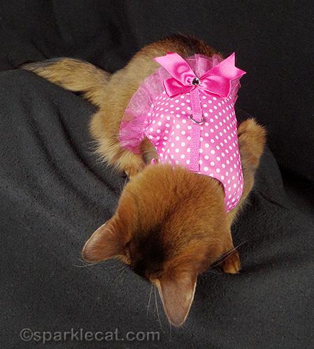 Somali cat with a cute pink polkadot harness