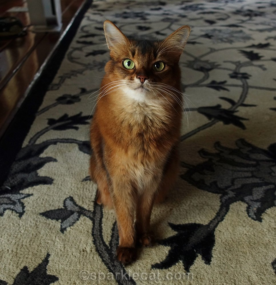 somali cat wondering what to wear for dress up your pet day