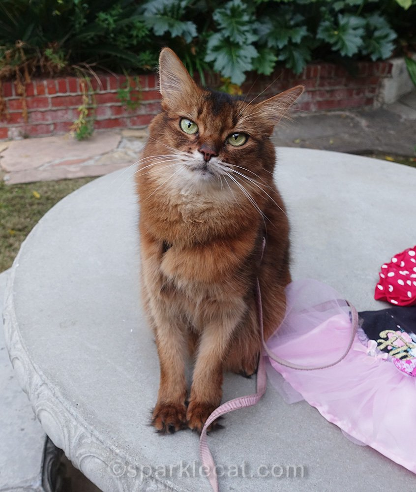 somali cat sad about the lack of creativity for dress up your pet day