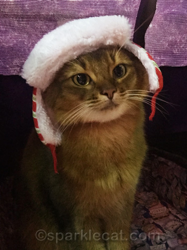 somali cat selfie wearing winter hat