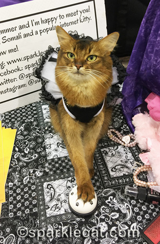 somali cat dressed up for a cat show weekend