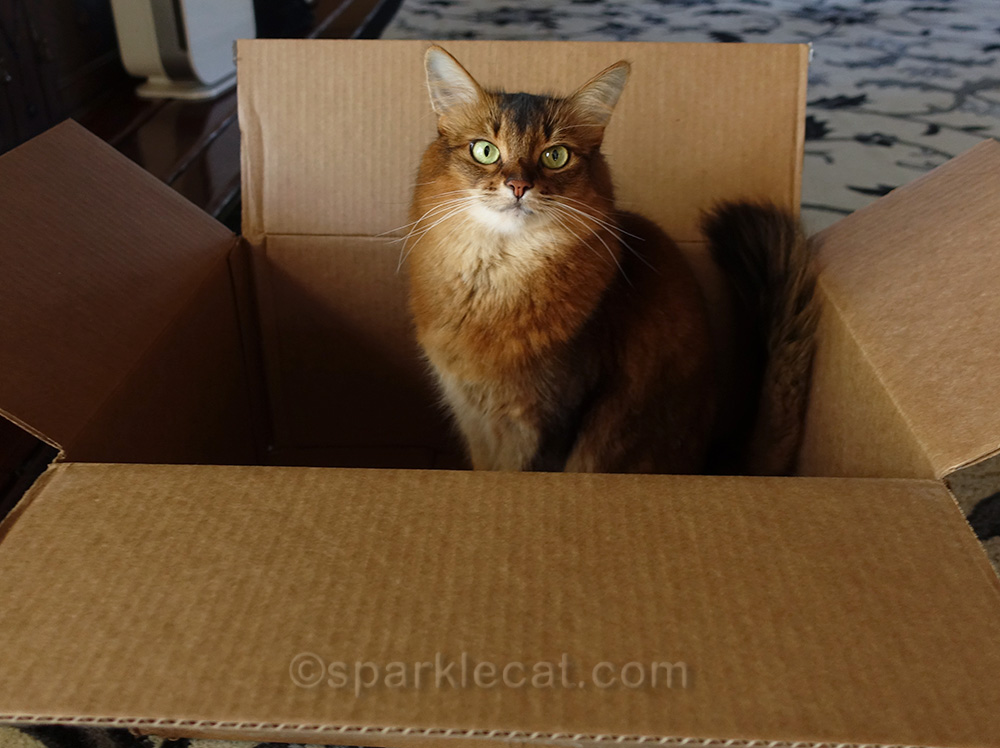 somali cat in box containing RompiCatz cat toys