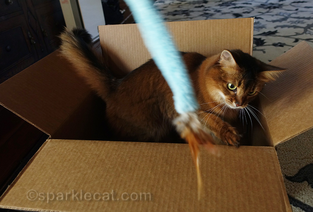 somali cat playing with the RompiCatz Feather N' Fabric Teaser