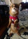 somali cat in Wonderkitty costume, standing up