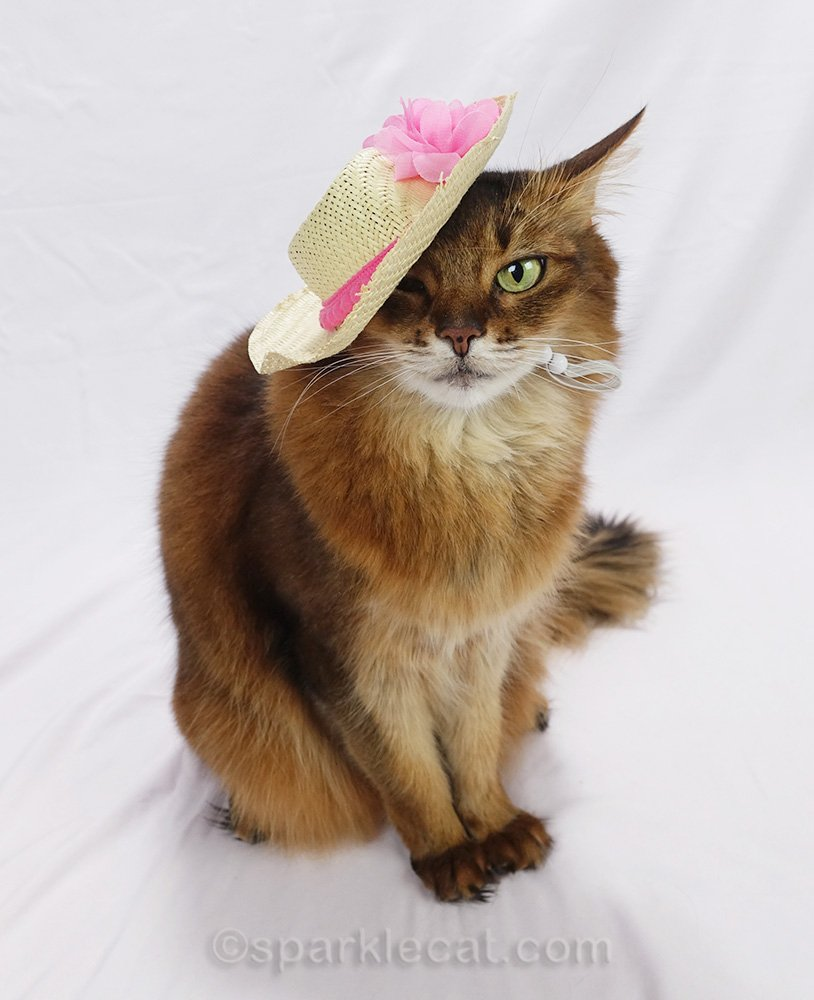 somali cat showing off pink details of straw hat