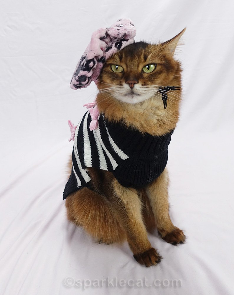 somali cat with pink and black sweater and beret