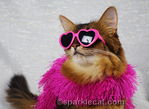 somali cat in sunglasses with photographer photo bomb