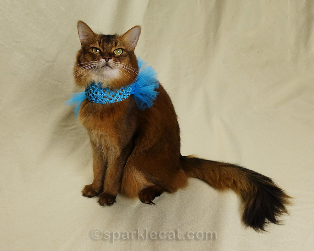 somali cat wearing some weird blue thing