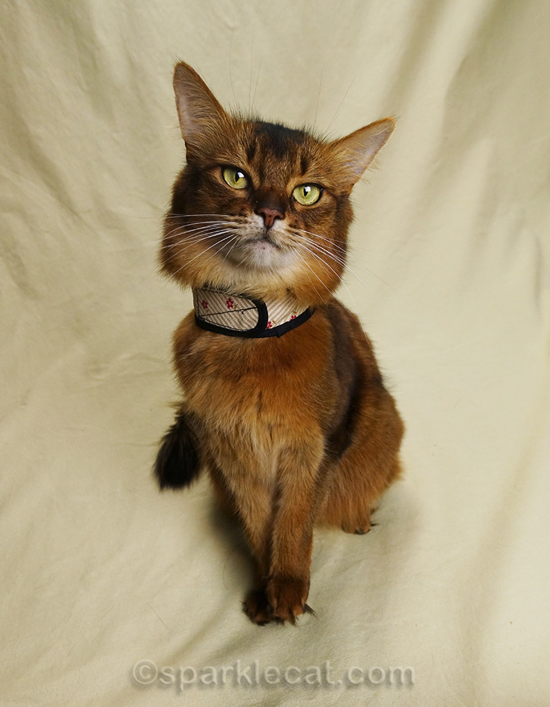 somali cat posing in velcro harness