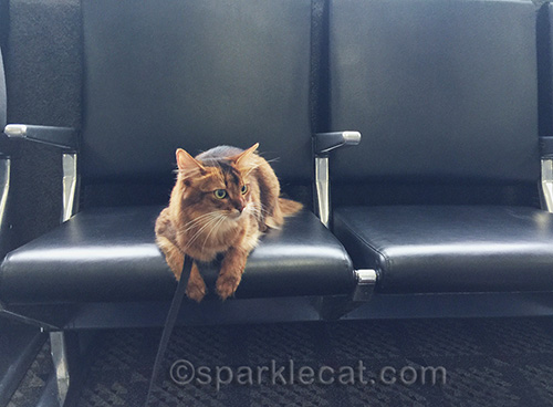 somali cat waiting to board at Burbank Airport