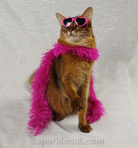 somali cat with sunglasses crooked