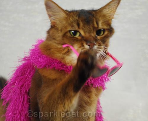 somali cat taking off sunglasses