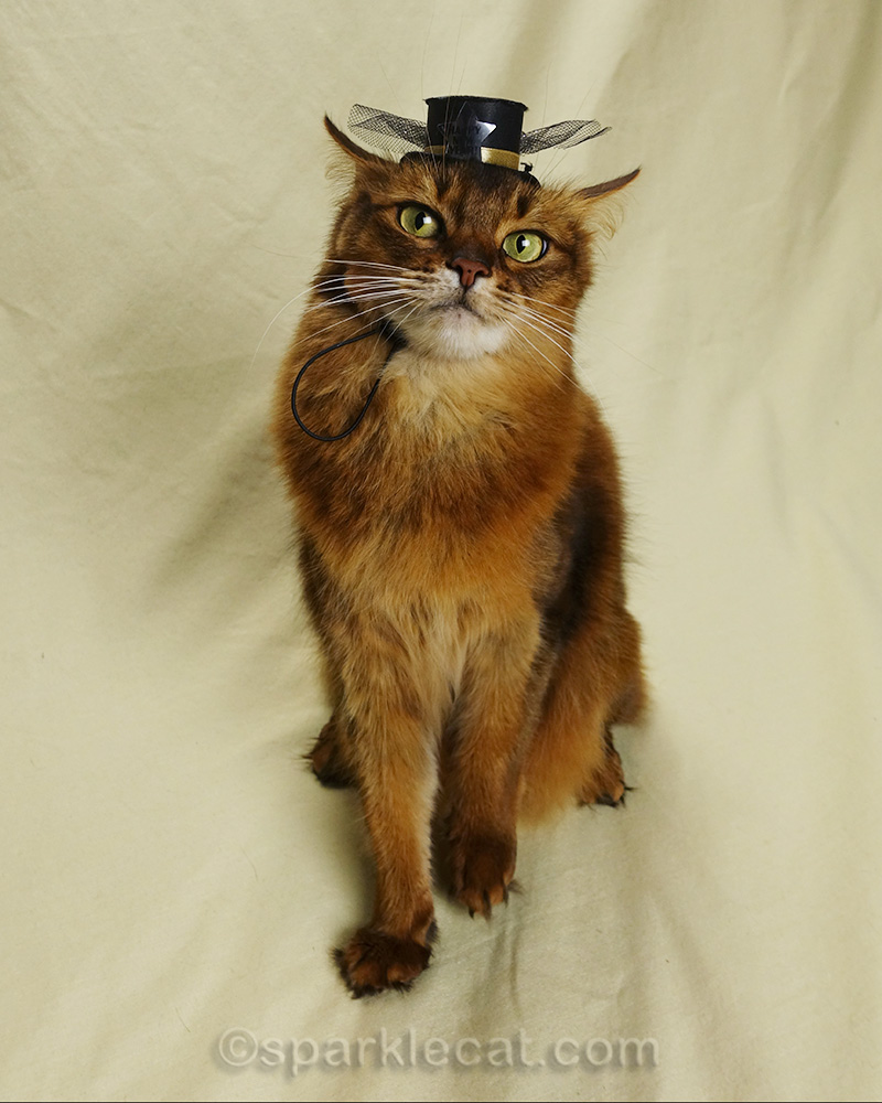 somali cat dubious about tiny new year hat