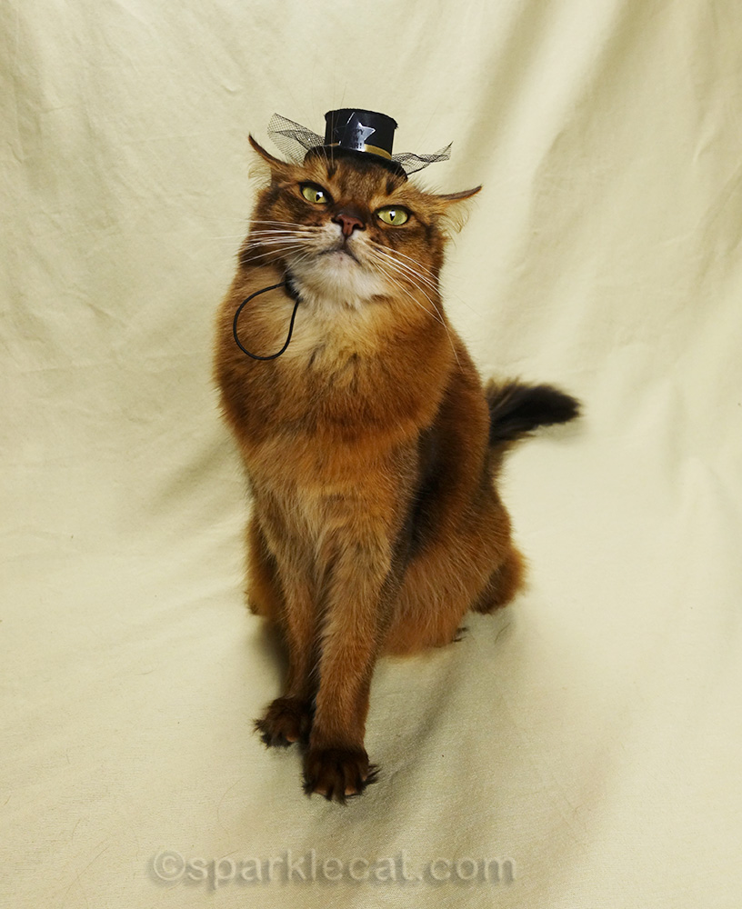 somali cat in awkward pose with tiny hat