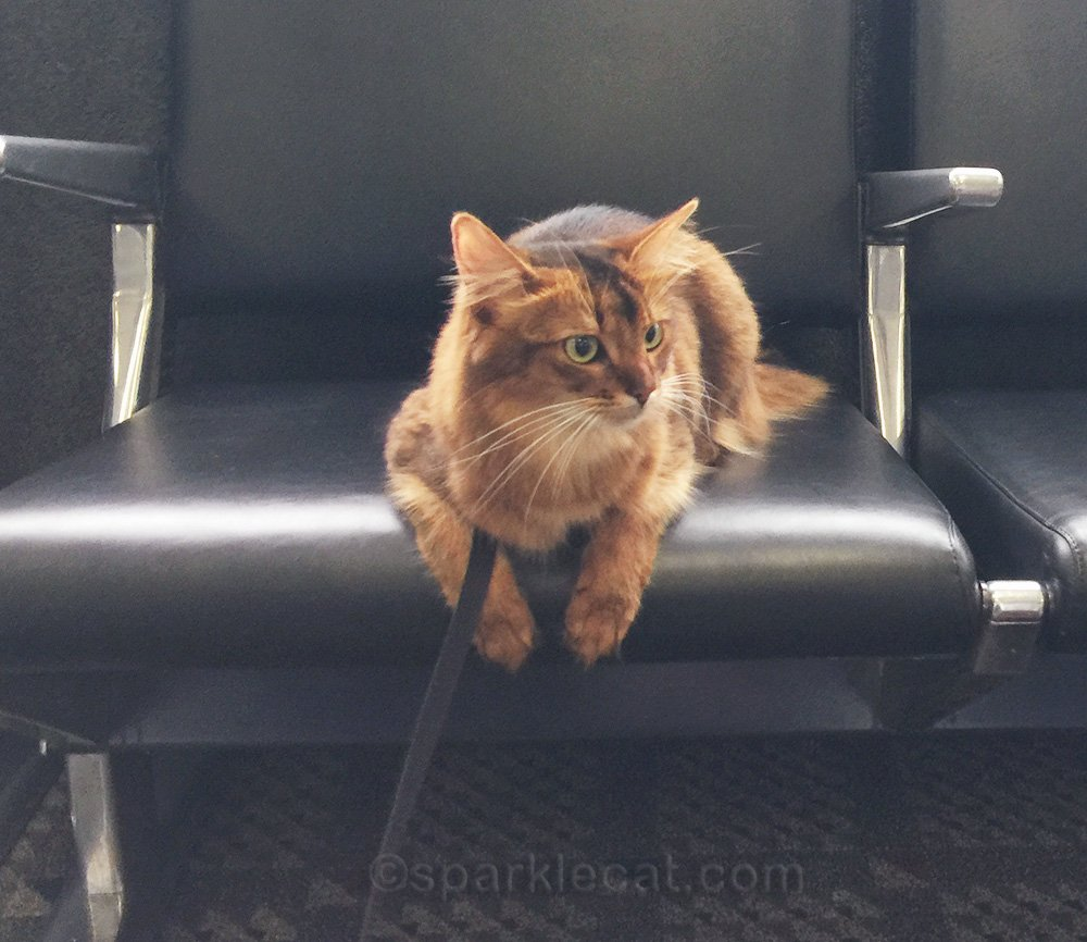 somali cat at boarding gate, waiting for her flight