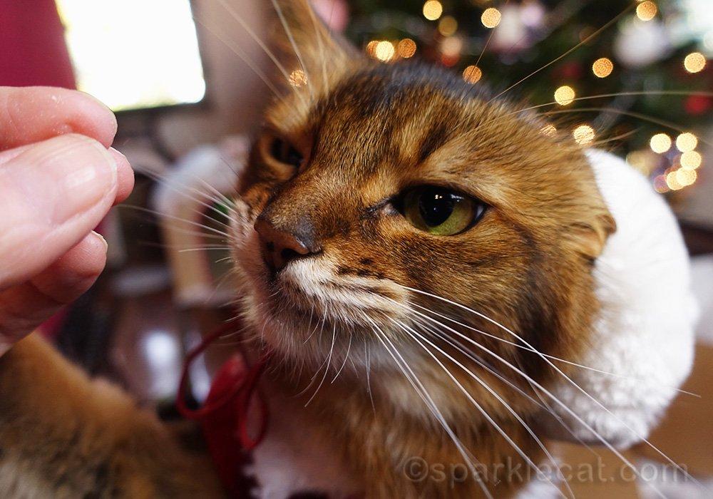 somali cat eyeing treat dubiously
