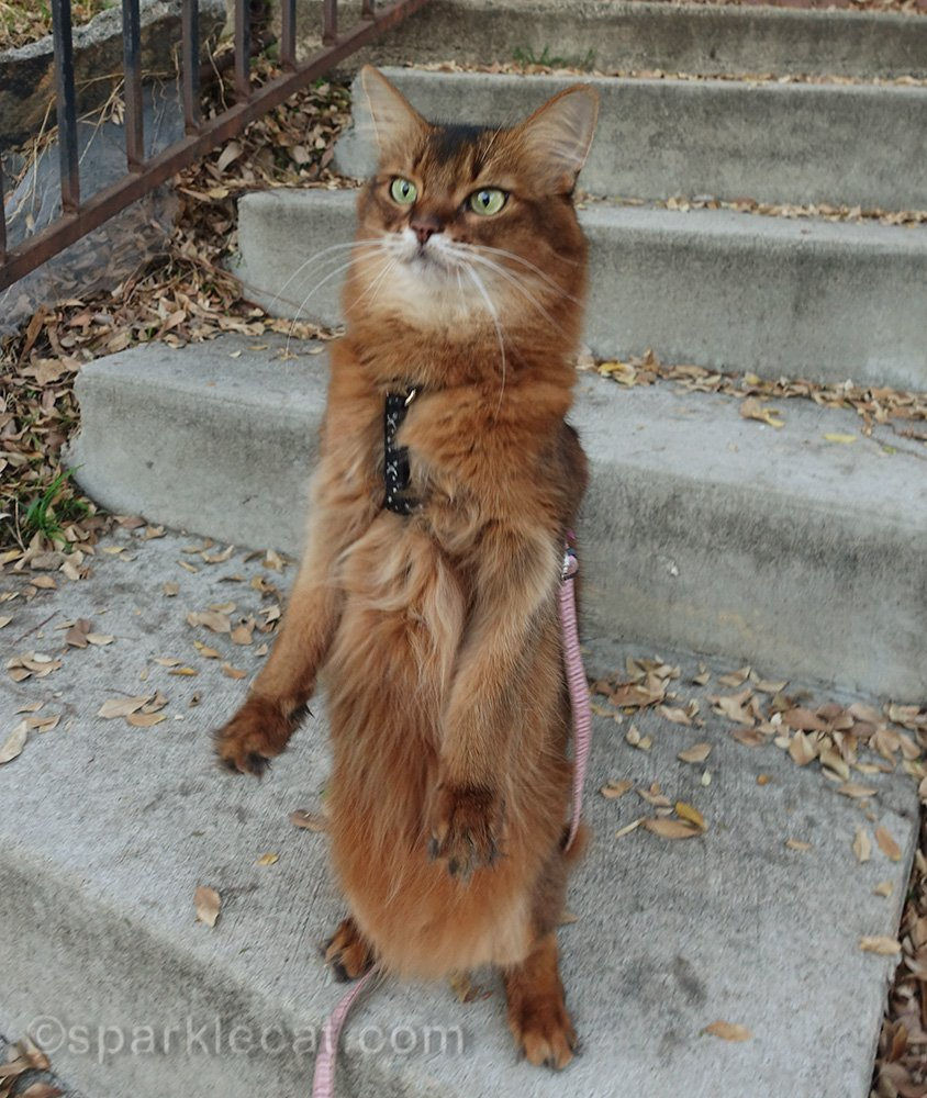 somali cat on leash standing on hind legs