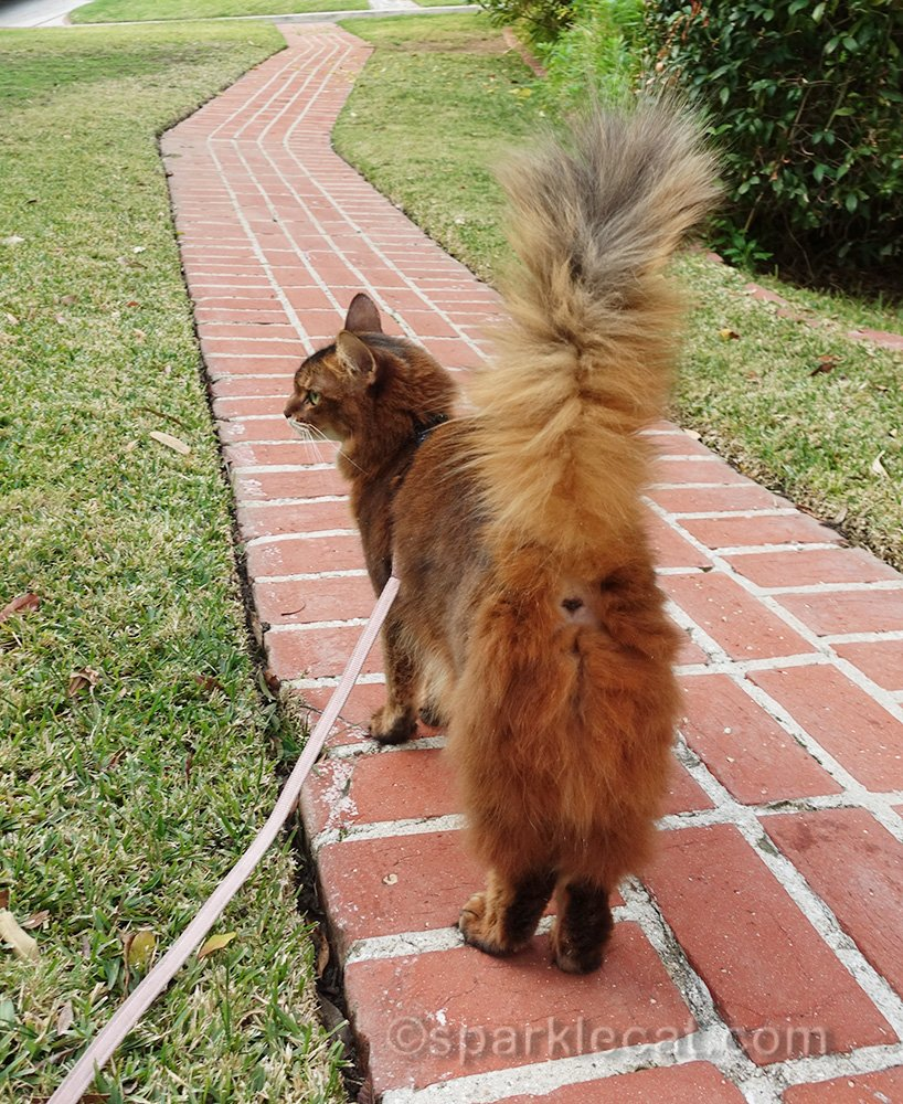 somali cat on leash from behind