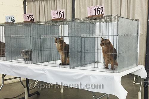 cat show, somali cats, judging ring
