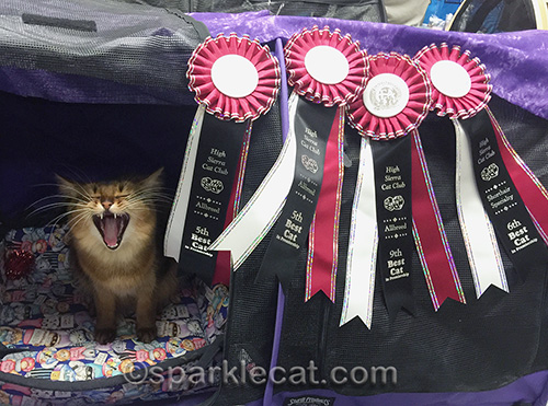 Somali cat, cat show, cat show ribbons, show cat
