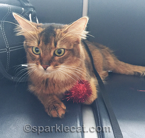 Somali cat at Sacramento airport with red sparkle ball