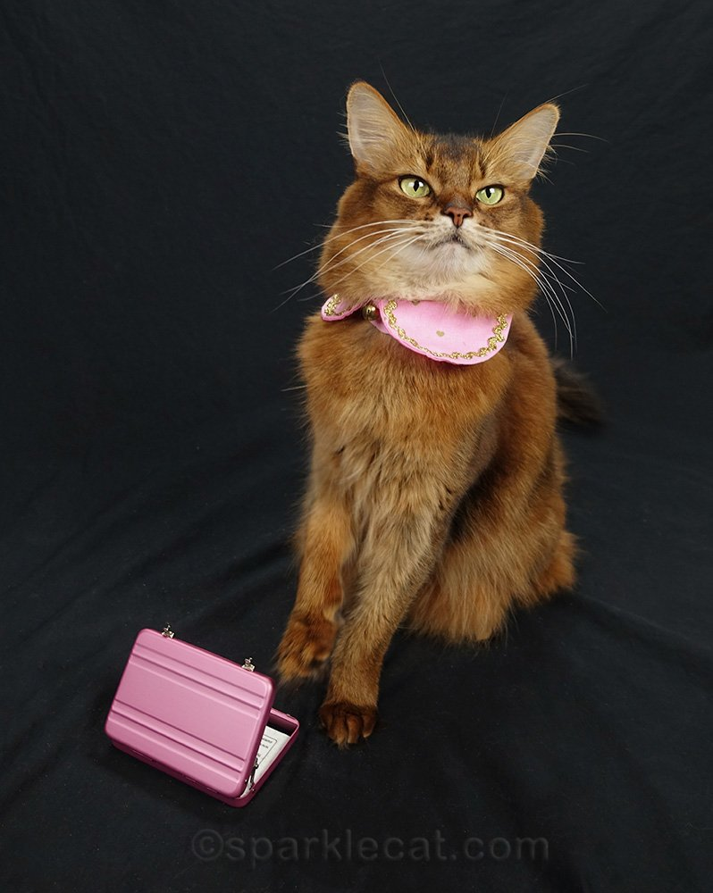 somali cat with pink briefcase and Peter Pan collar