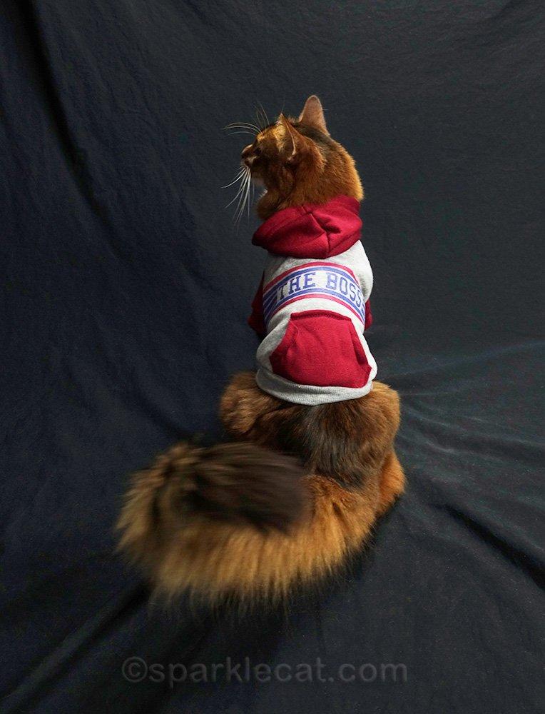 somali cat wearing boss sweatshirt