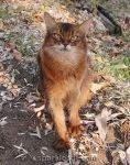 somali cat enjoying her paws in the dirt