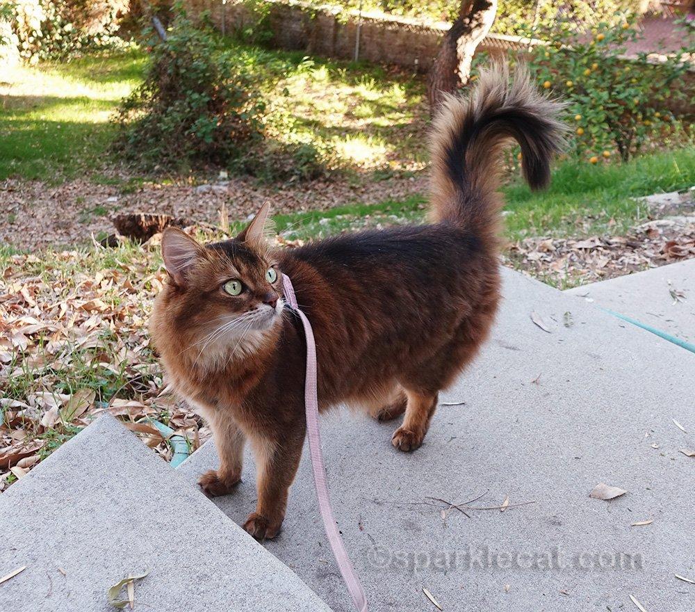somali cat on leash in backyard