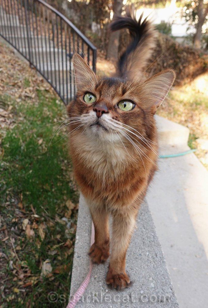 somali cat on concrete wall