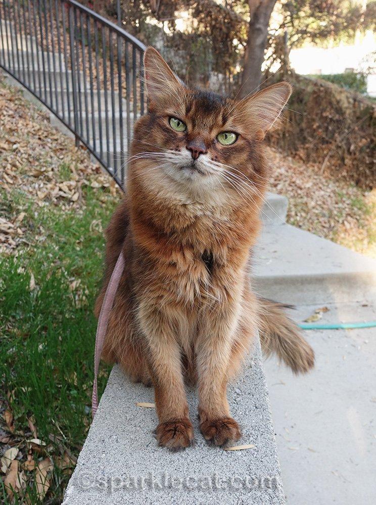 somali cat posing on concrete wall