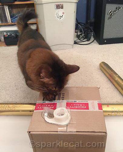 somali cat examines empty box