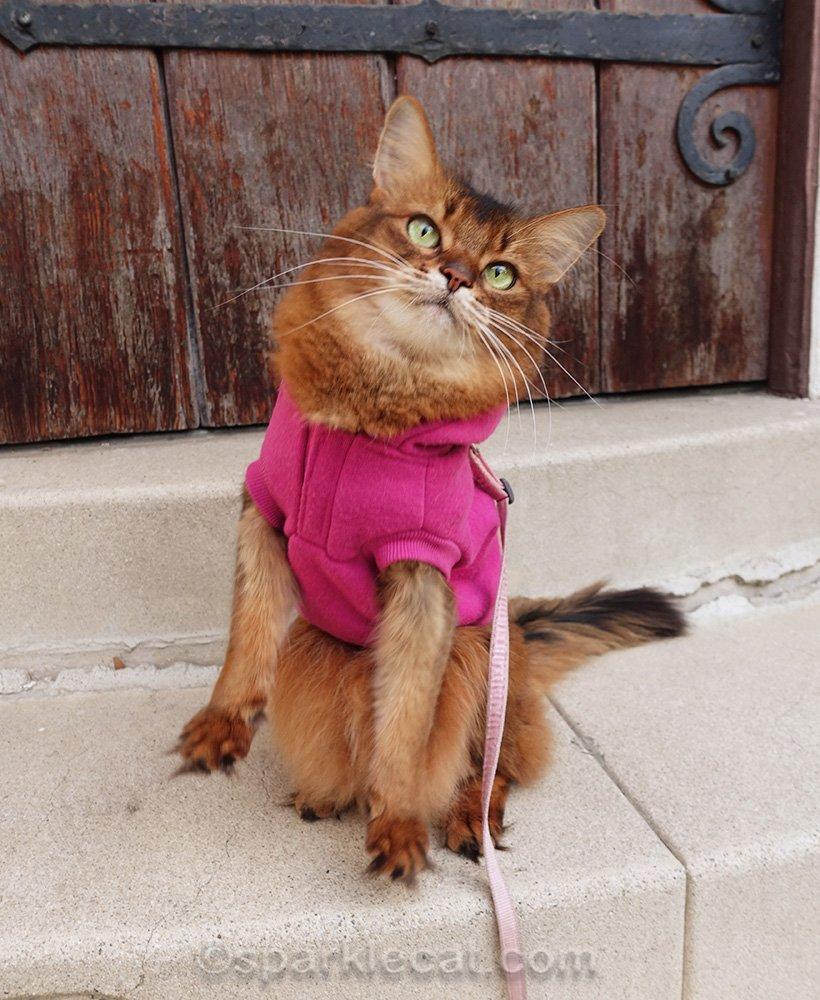 somali cat sit up miss
