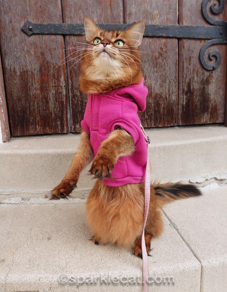 somali cat practicing sitting up