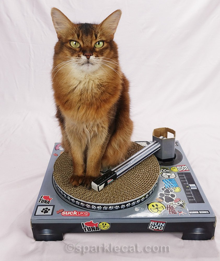 somali cat sitting on the turntable
