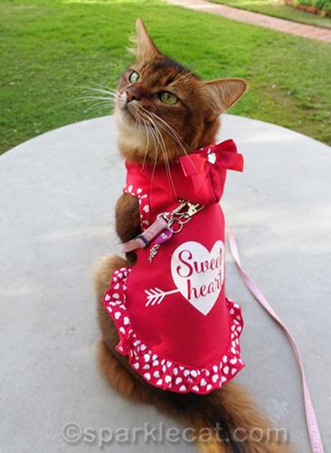 somali cat in Valentine dress looking over shoulder
