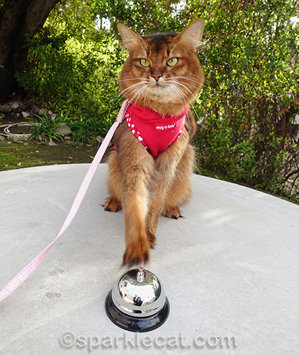 somali cat in dress trying to ring a bell