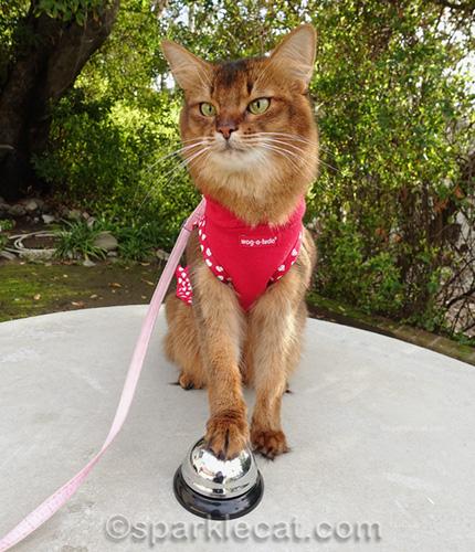 somali cat in dress successfully ringing desk bell