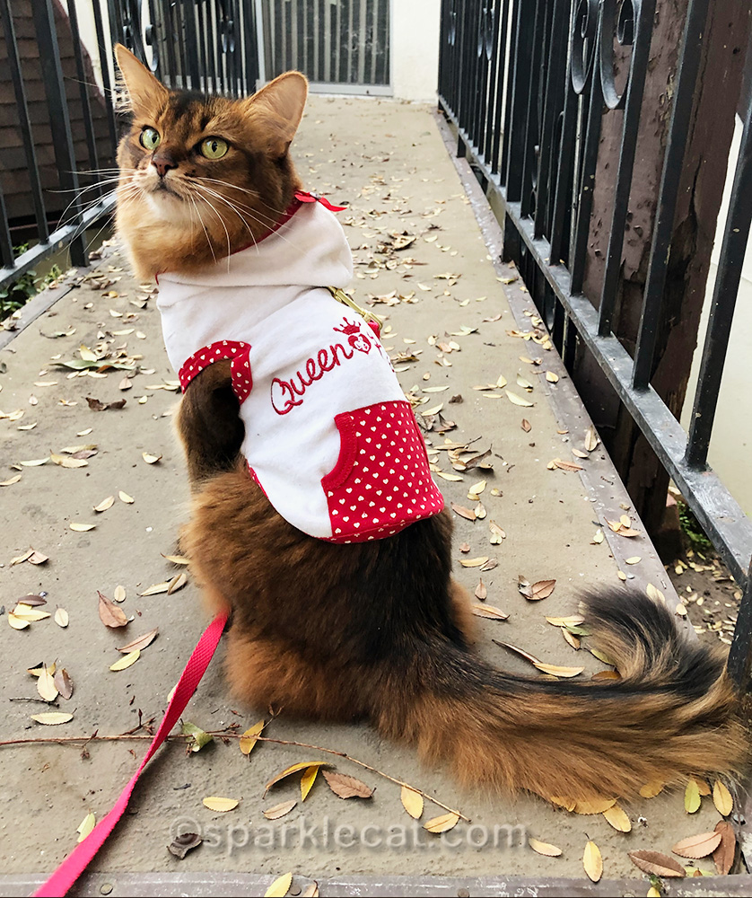 somali cat showing off the back of her queen of hearts hoodie